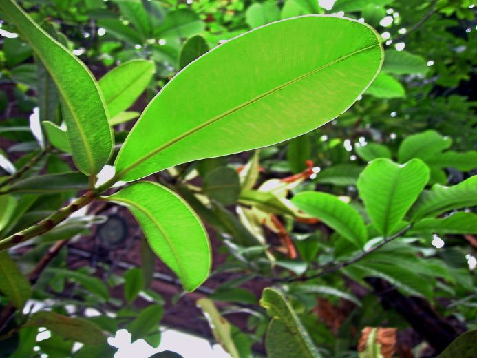 Calophyllum Aromapraxis Eliane Zimmermann