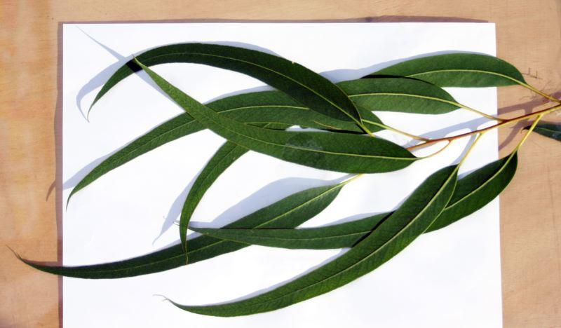 zitronenduftender eukalyptus aromatherapie. Black Bedroom Furniture Sets. Home Design Ideas