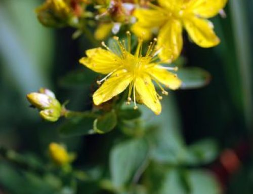 Johanniskraut-Mazerat – keine unerwünschten Nebenwirkungen