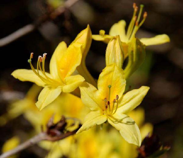 Eliane Zimmermann Aromapraxis - Rhododendron