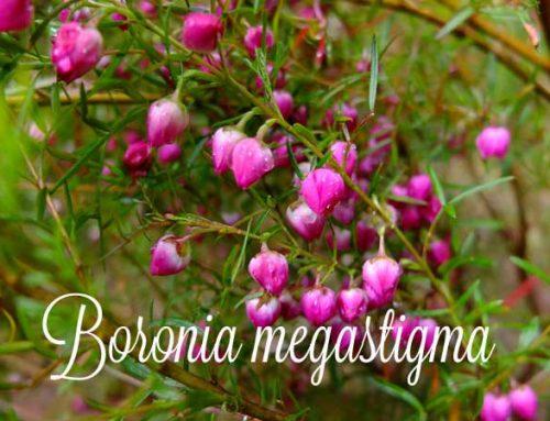 Boronia Megastigma – ein kostbarer feiner Duft