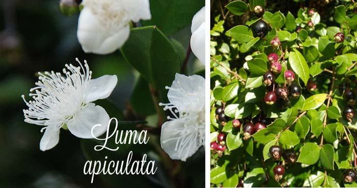 Luma_apiculata_flower_berry