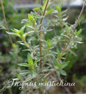 Thymus_mastichina_web