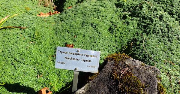 Thymus_serpyllum_Sandthymian_xs