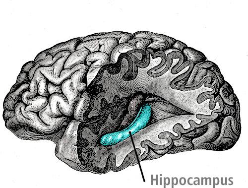 hippocampus_Gray