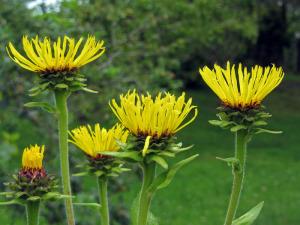 Alant (Inula helenium, Inula graveolens) Aromatherapie Eliane Zimmermann