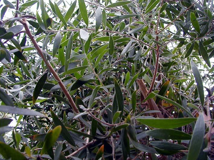 Cajeput - Melaleuca leucadendra - Aromatherapie Eliane Zimmermann