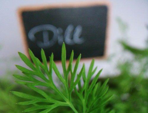Dill - Anethum graveolens - Aromatherapie Eliane Zimmermann