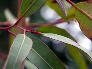 Eukalyptus - Eucalyptus radiata - globulus - citriodora