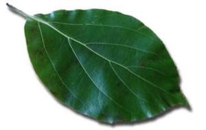 Ho-Blätter, Cinnamomum camphora Ct. Linalool - Aromatherapie Eliane Zimmermann