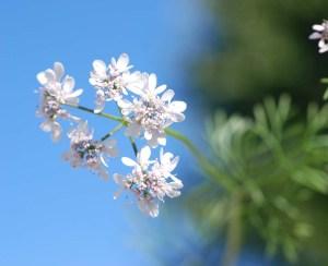 Koriander - Coriandrum sativum - Aromatherapie Eliane Zimmermann