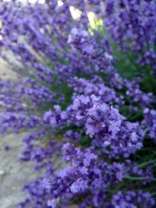 Lavendel - Lavandula angustifolia - Aromatherapie Eliane Zimmermann