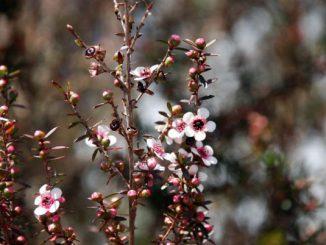 Manuka - Leptospermum scoparium - Aromatherapie Eliane Zimmermann