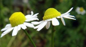 Blaue deutsche Kamille, Matricaria recutita - Aromatherapie Eliane Zimmermann