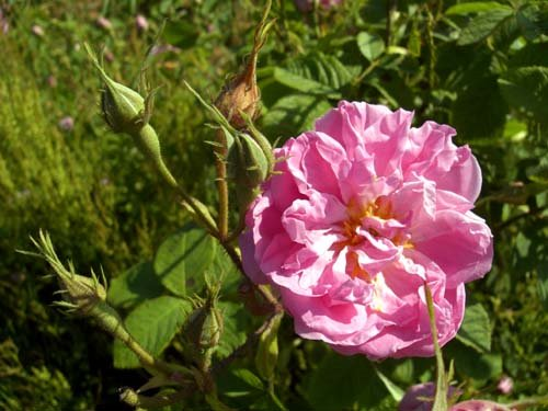 Rose, Rosa damascena - Aromatherapie Eliane Zimmermann