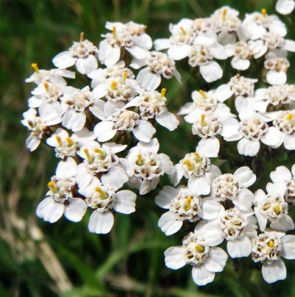 Schafgarbe, Achillea millefolium - Aromatherapie Eliane Zimmermann