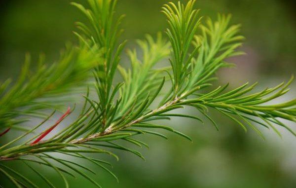 Teebaum, Melaleuca alternifolia - Aromatherapie Eliane Zimmermann