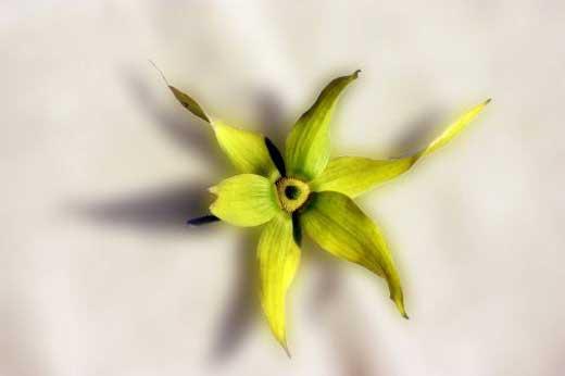 Ylang Ylang, Cananga odorata - Aromatherapie Eliane Zimmermann