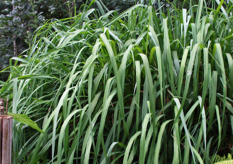 Citronella - Zitronella - Cymbopogon nardus winterianus - Aromatherapie Eliane Zimmermann