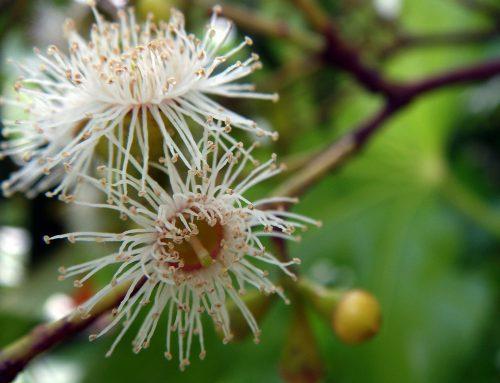 Aromatherapie: Eucalyptus radiata zählt bald zu den bedrohten Arten