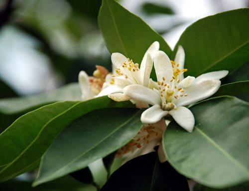 Aromatherapie in Zeiten von Angst – wissenschaftlich untermauert