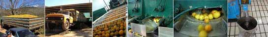 Orangenölherstellung - Aromapraxis - Eliane Zimmermann
