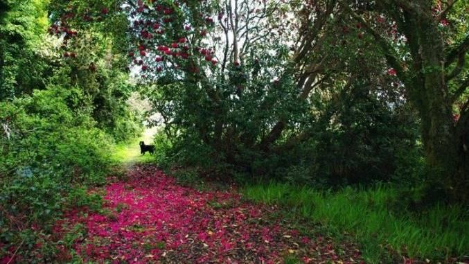 Teppich aus Rhodendron-Blüten