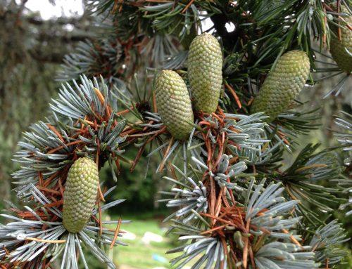 Aromatherapie und Pollen-Allergie