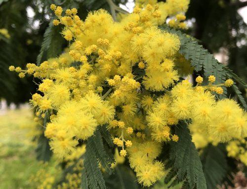 Mimose – feiner Duft und antitumoraler Inhaltsstoff Lupeol