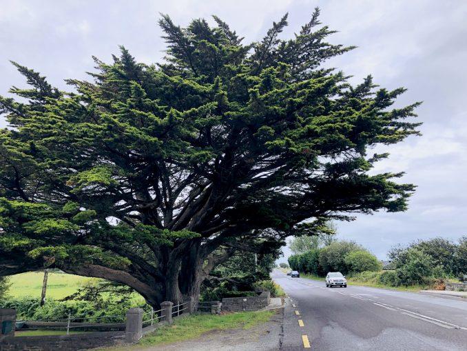Cupressus_macrocarpa_Ireland