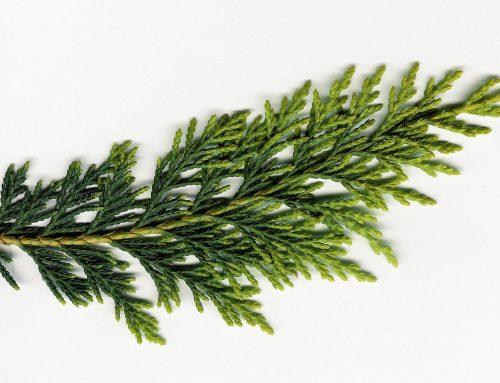 Thuja- oder Arborvitae ist keine Zeder und das Öl für Laien problematisch