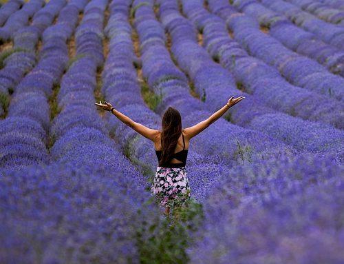 Lavendel – die Arzneipflanze des Jahres 2020