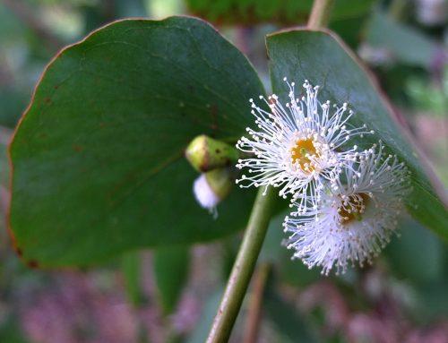 Eucalyptol als mögliche Hilfe bei schweren viralen Infekten