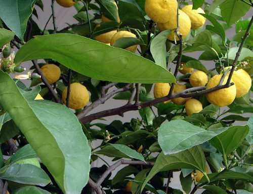 Zitronenöl, die entspannende Erfrischung